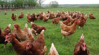 Omega-3 tojást tojó tyúkok