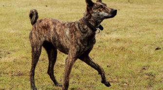 Zebracsíkos sinka kutya a magyar terelőkutya