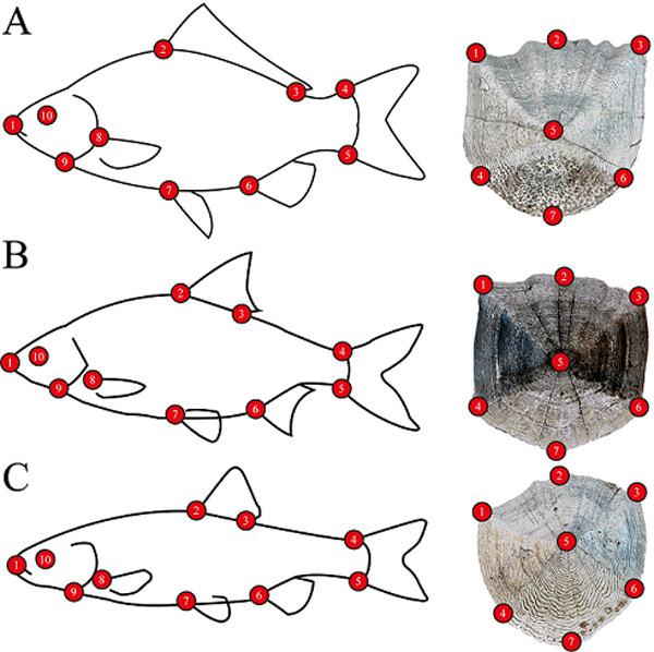 A képen az ezüstkárász (A), a bodorka (B) és a domolykó (C) sematikus képe és szkennelt pikkelye látható a rajtuk felvett mérőpontokkal, amik egymáshoz viszonyított elhelyezkedése jellemzi az alakot (Forrás: Dr. Staszny Ádám)