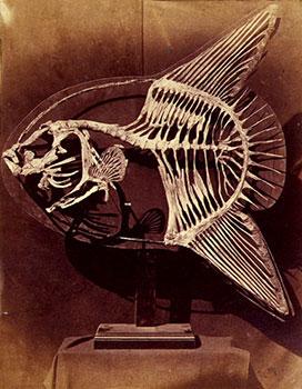 A csontvázon jól látszik az összenövés. Forrás: oceansunfish.org