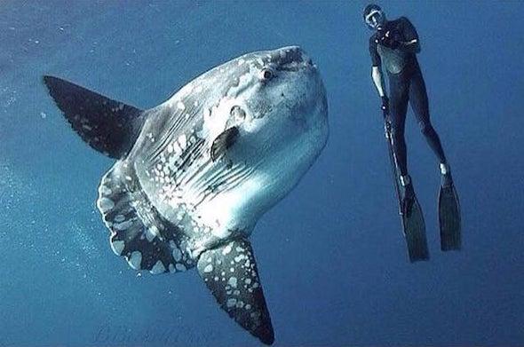 Átlagos holdhal-méret. Forrás: Scientific American Blogs