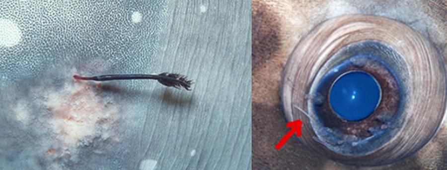 Pennella filosa és Lepeoptherius sp., a Molák gyakori parazitái. Forrás: oceansunfish.org