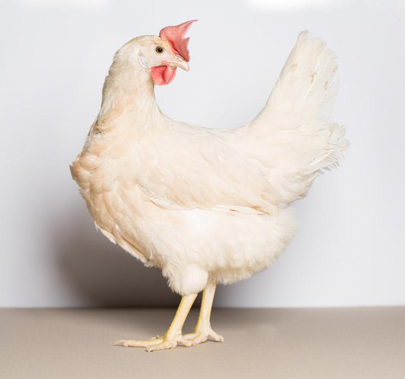 Az új hibrid ugyanis fehér tollszínű, finom csontozatú, kisebb testű, jobb takarmányértékesítő.