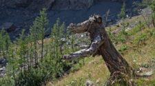 Mire jó egy korhadt, kiszáradt úgynevezett holt fa?