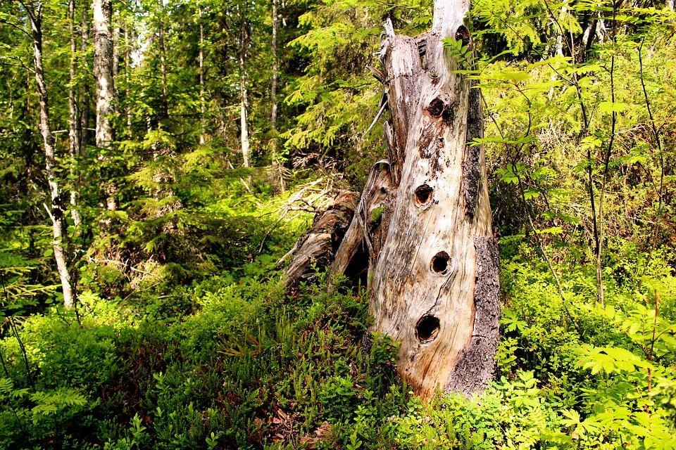De az idős fák korhadt részei és a faodvak megszámlálhatatlan élőlény búvó- és táplálkozóhelyei a mikroszkopikus élőlényektől az emlősökig.