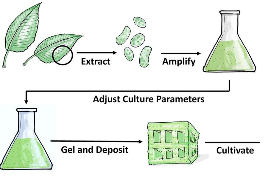 Az elképzelés folyamatábrája: először kinyerik a sejtet, szaporítják, aztán tápoldatba, majd egy speciális gélbe helyezik, megformázzák és aratják. Forrás: MIT