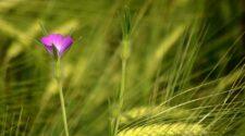 Vetési konkoly – Az év vadvirága 2021-ben