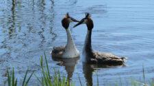 Megkezdték látványos násztáncukat a búbos vöcsök párok