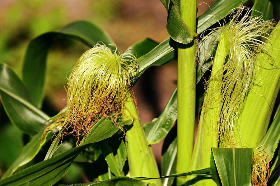 A kukoricabajusz gyakori alkotórésze a cukorbetegség hatásait enyhítő, a diétás és a vizelethajtó teakeverékeknek.