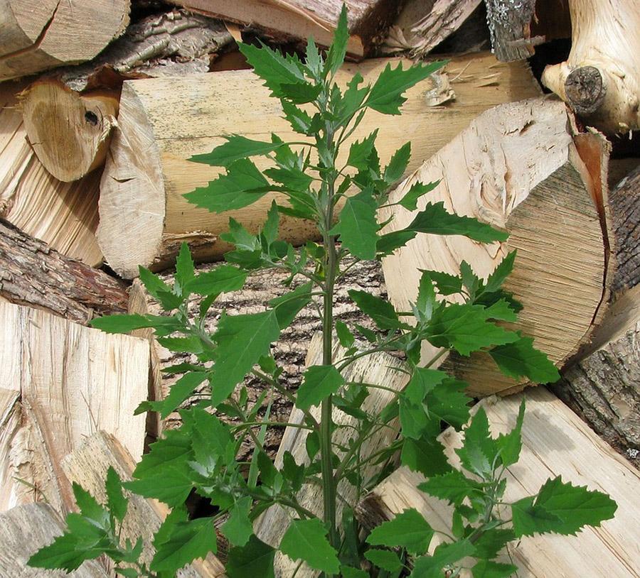 Ezt a gyógynövényt mindenki ismeri, a fehér libatop (Chenopodium album) kertjeink gyakori gyomnövénye.