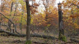 Tölgyes élőhelyeket érintő erdőkezelési kísérlet