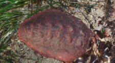 A cserepeshéjú bogárcsiga vasfoga