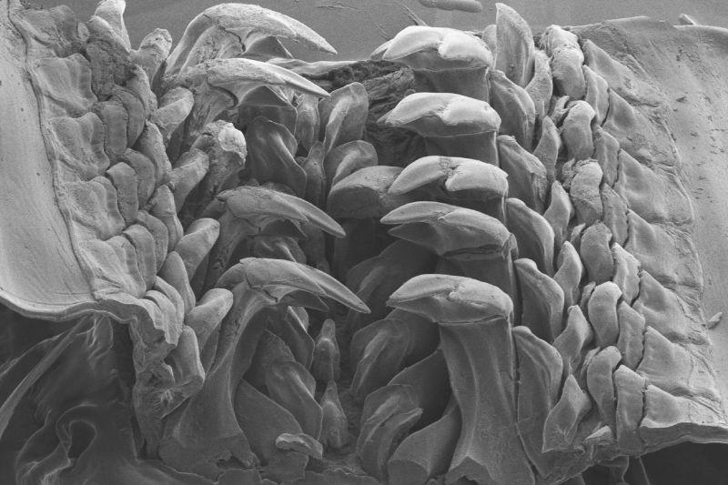 A korszerű berendezéseknek hála, ilyen pontos képek készülhetnek a mikrométeres területekről. A képen a csiga fogazata látható. Forrás: nytimes.com
