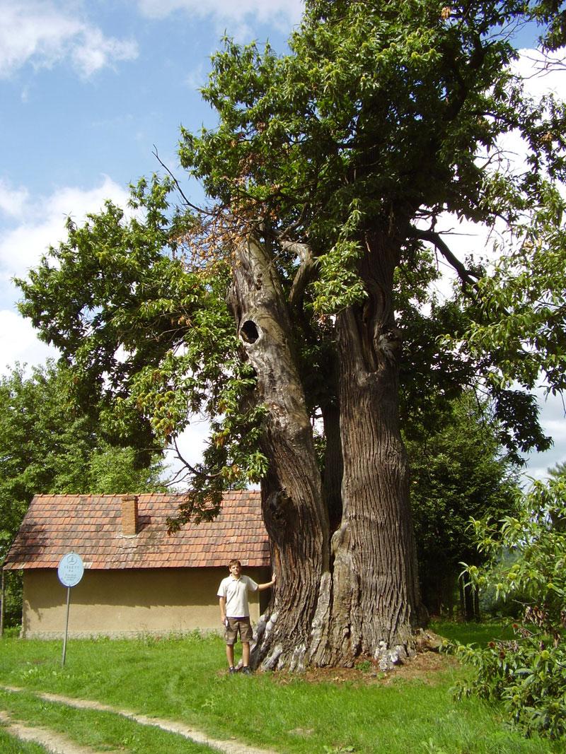 Surd (Zala megye), szelídgesztenye a szőlőspincék között. Mellmagassági törzskerület 762 cm. Fotó készítésének éve 2010