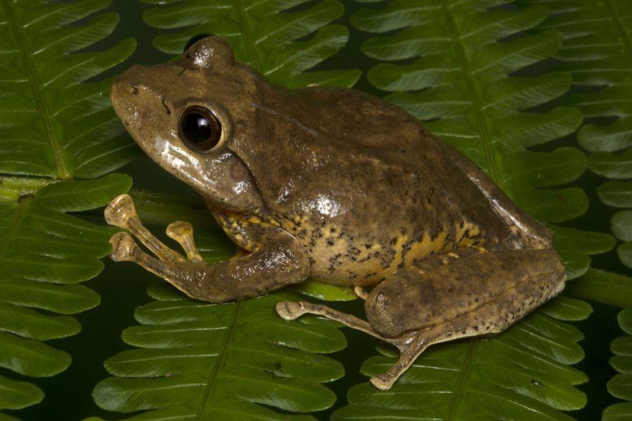 Cornufer hedigeri, salamon-szigeteki óriás fabéka. Forrás: australian.museum