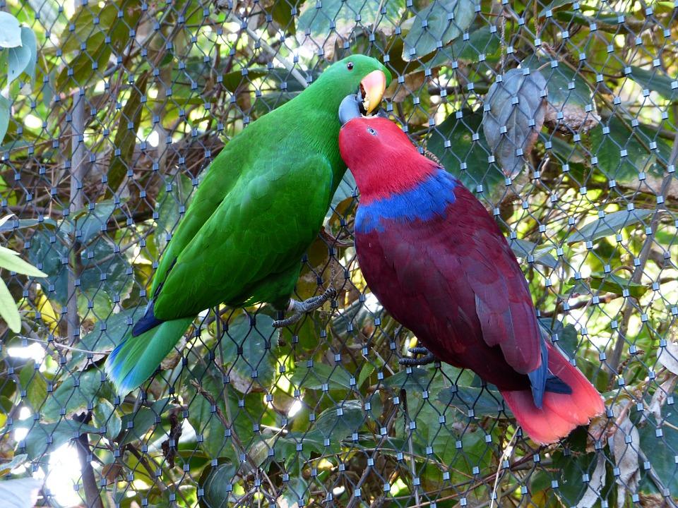 Eclectus papagájok, a melanéziai szigetcsoport legszebbjei.